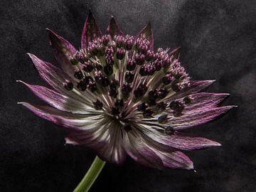 """Blume in """"dampfendem Licht"""" von Marjolijn van den Berg"""