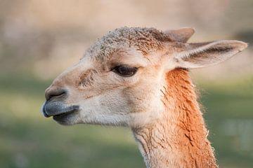 Lama : Diergaarde Blijdorp van Loek Lobel