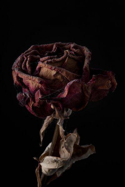 Een rode vergaande roos met zwarte achtergrond van Steven Dijkshoorn