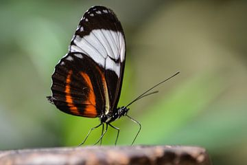 Schmetterling im Fokus von Lizet Wesselman
