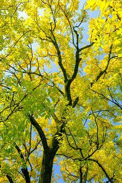 Aufwärts Schuss von goldenen oder gelben Blättern auf einer goldenen Esche von
