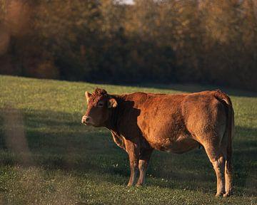 Kuh in der Morgensonne von Stuart De vries