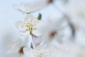 Witte bloesem van Martzen Fotografie