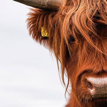Portret Schotse Hooglander vierkant van Sandra van Kampen