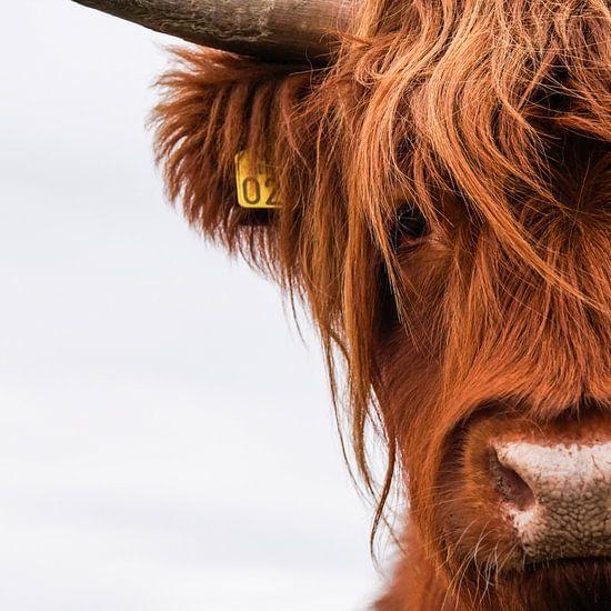 Portret Schotse Hooglander vierkant