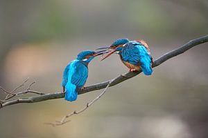 IJsvogel - Verleiding