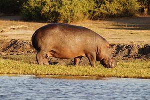 Nijlpaard uit het water