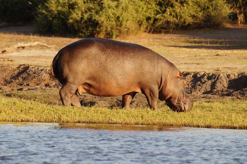 Nijlpaard uit het water van Erna Haarsma-Hoogterp