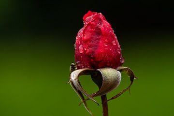 Roos van gwen van Mossevelde