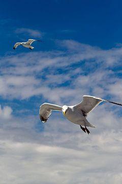 Twee meeuwen in vlucht van Paul Teixeira