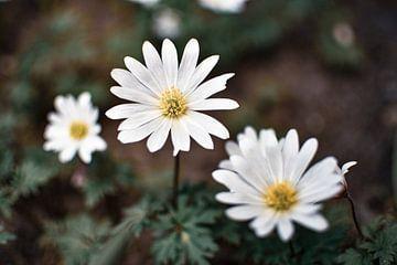 bloeiende witte bloemen van Nadine Rall