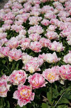 Flowerfield one