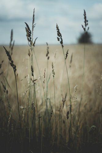 Sommerwiese mit Gras