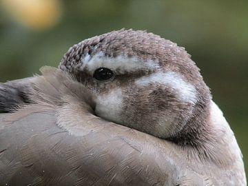 closeup eend van Ilona Hollander