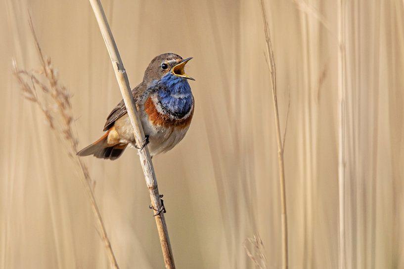 Blauwborst zingend in het riet. van Roosmarijn Bruijns
