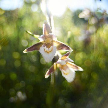 Impressie Moeraswespen orchis van Erik Reijnders