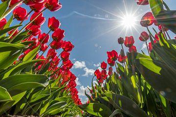 Tulpen veld van Marco de Graaff