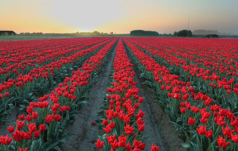 tulpen van Ferry Krauweel