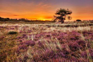 Heidevelden kleuren paars in het duinlandschap van eric van der eijk