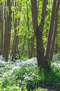 Berenknoflook in het bos van Ostsee Bilder