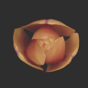 macro topview van een tulp van Ribbi The Artist