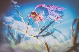 Wilde paars geblokte kievietsbloem