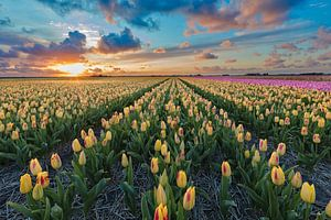 Zonsondergang boven een bollenveld  met tulpen van