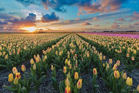 Sonnenuntergang über einem Feld mit Tulpen Blumenzwiebeln
