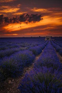 Feuriger Lavendel von Joris Pannemans - Loris Photography