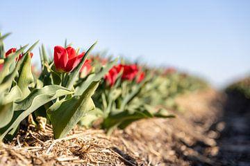Rote Tulpen in einem Feld von Josephine Huibregtse