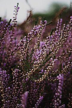 Blühendes Heidekraut von Sabrina Roijen