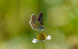 Schmetterling von Kitty van Helmond
