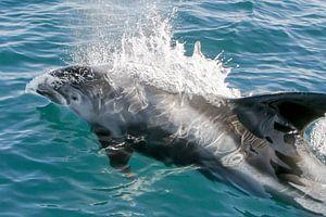 Dolfijn (witsnuitdolfijn) van