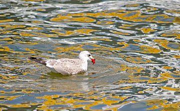 young herring gull van Wiebke Blume