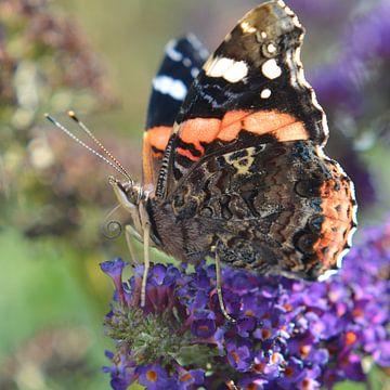 Schmetterling von Rogier Vermeulen