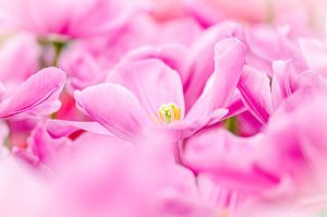 Rose Tulpenveld van Jeffry J.J van Berkum