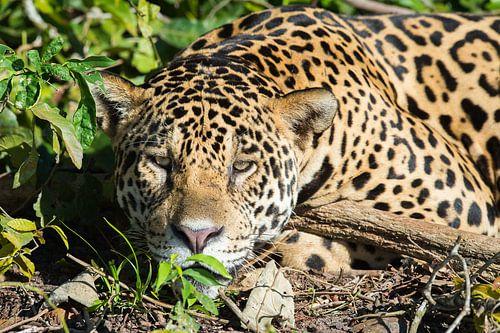 Close up of Juru, a male jaguar in the Pantanal van