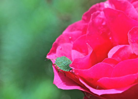 Green bug van Gerda Hulsebos