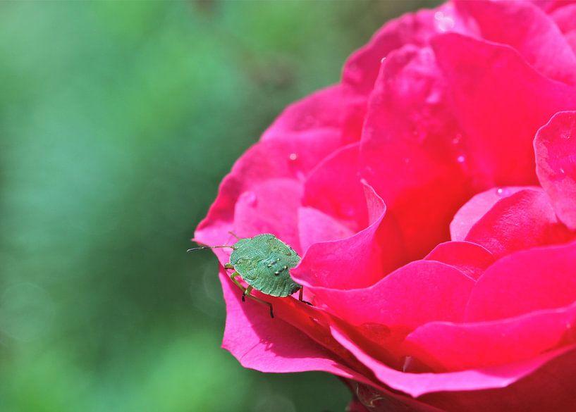 Groene Wants op felroze roos van Artelier Gerdah