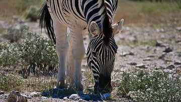 Steppe zebra's grazend in Etosha Nationaal Park van Timon Schneider