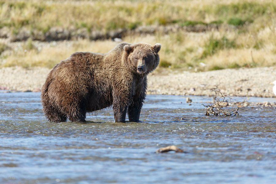Grizzly beer jagend  van Menno Schaefer