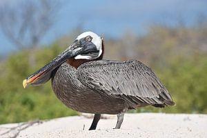 Bruine pelikaan (Pelecanus occidentalis) op het strand van Frank Heinen