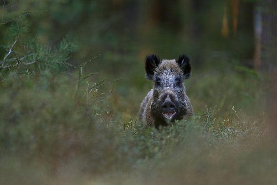 Wild Boar ( Sus scrofa ) in the woods