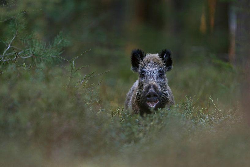 Wild Boar ( Sus scrofa ) in the woods van wunderbare Erde