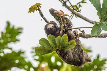 Luiaard in Costa Rica van Corno van den Berg