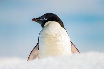Adélie pinguin in de vers gevallen sneeuw  op Brown bluff Antarctica. van Ron van der Stappen