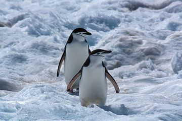 Antarctica twee stormband pinguïns op sneeuw van Maurice Dawson