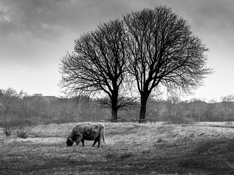 Highlander onder bomen van Dirk van der Plas
