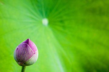 bud of a lotus flower sur Marcel Derweduwen