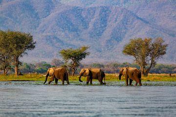 Drie Afrikaanse olifanten (Loxodonta africana) lopend door de Zambezi rivier van Nature in Stock